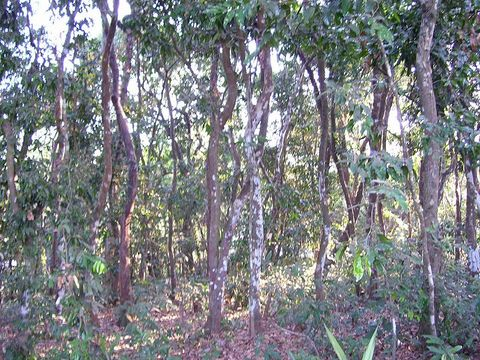 Ebonytreeforest.jpg